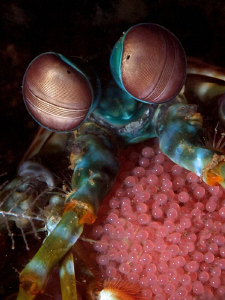 Mantis shrimp w/- eggs, Tulamben. by Doug Anderson 